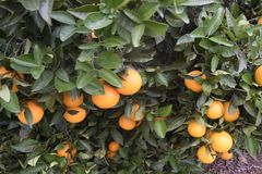 Oranges on a tree. Oranges growing on a tree royalty free stock photography