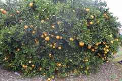 Oranges on a tree. Oranges growing on a tree stock photography