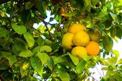 Oranges on Tree. Mallorca, Spain. Green color, fruit, autumn stock photos
