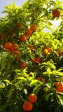 Oranges on a tree in the nature of Cyprus. Vegetation flora green orange royalty free stock image