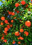 Oranges on the tree. Closeup shot Royalty Free Stock Photo