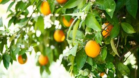 Oranges tree. In the sun stock photography
