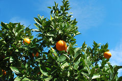 Oranges tree Stock Images