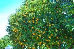Oranges tree Stock Photos