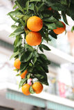 Oranges. On the tree in Spain Royalty Free Stock Photography