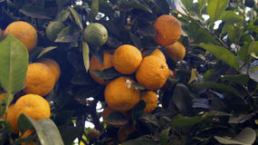 Oranges in a tree. Two groups of oranges hanging of a tree branch, some green oranges in a tree, organic fruits ready to be harvest stock image