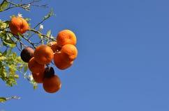 Oranges on a tree. Wild oranges on a tree Royalty Free Stock Photo