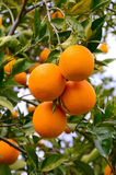 Oranges on a tree Stock Photos