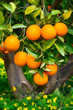 Oranges on a tree Royalty Free Stock Images