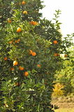 Oranges on trees Stock Photos