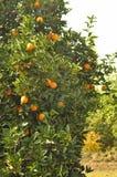 Oranges on trees Stock Photos