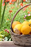 Oranges in a trug in sunshine outdoors. Tropic fruits stock photos