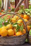 Oranges in a trug in sunshine outdoors. Tropic fruits royalty free stock photography