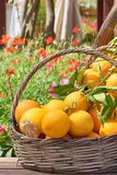 Oranges in a trug in sunshine outdoors. Tropic fruits stock photography
