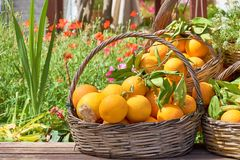 Oranges in a trug in sunshine outdoors. Tropic fruits stock image