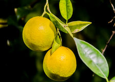 Oranges. Two ripe oranges in an orange tree Stock Image