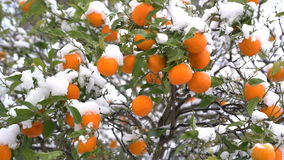 Oranges under the snow. In Montenegro stock video