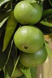 Oranges vertes Photographie stock libre de droits