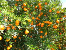 Oranges. Winter fruits like oranges are an important produce of the hills in the central Nepal Royalty Free Stock Photo