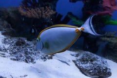 Orangespine unicornfish在底部游泳 库存照片