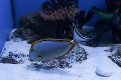 Orangespine unicornfish在底部漂浮 免版税库存照片