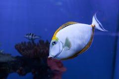 Orangespine unicornfish漂浮下来 免版税库存图片