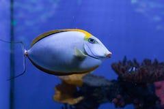 Orangespine unicornfish特写镜头 图库摄影