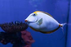 Orangespine unicornfish特写镜头 库存照片