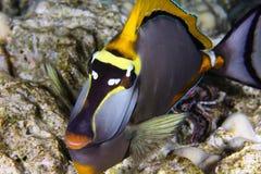 Orangespine unicornfish 免版税图库摄影