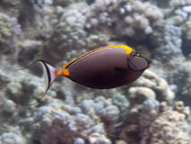 Orangespine unicornfish Royaltyfri Fotografi