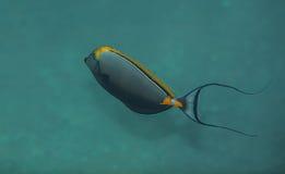 Orangespine unicornfish Royaltyfria Bilder
