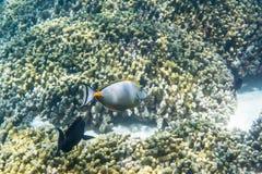 Orangespine unicornfish Στοκ φωτογραφία με δικαίωμα ελεύθερης χρήσης