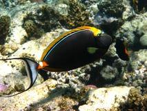 orangespine unicornfish 免版税库存图片