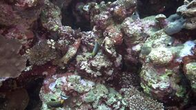 Orangespine unicornfish  Naso elegans in coral of Red sea Sudan. Shaab Rumi stock video footage