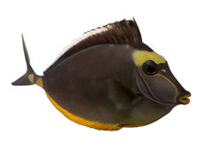 Orangespine unicornfish, Naso lituratus Royalty Free Stock Photo