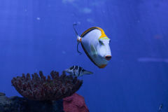 Orangespine unicornfish swiming ahead Stock Image