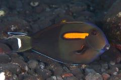 Orangespot surgeonfish Stock Images