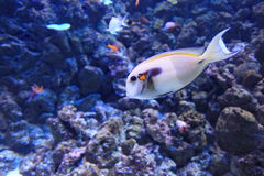 Orangespot surgeonfish Royalty Free Stock Images