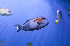 Orangespot surgeonfish underwater. Orangespot surgeonfish floats underwater, acanthurus olivaceus close up Royalty Free Stock Photo
