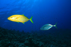Orangespotted Trevallies. (Carangoides bajad), also known as Jackfish Royalty Free Stock Photography