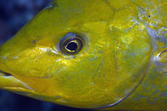 Orangespotted trevally Royalty Free Stock Photo