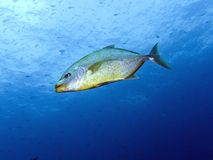 Orangespotted Trevally - Carangoides bajad Stock Photos