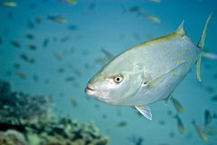 Orangespotted trevally (carangoides bajad). Taken in Middle Garden Stock Images