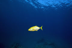 Orangespotted trevally (carangoides bajad) Stock Photo