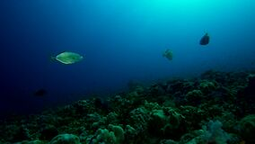 Orangespotted trevally  Carangoides bajad in coral of Red sea Sudan. Shaab Rumi stock footage