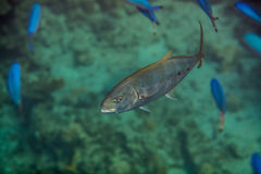 Orangespotted Trevally Stock Photography