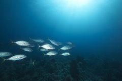 Orangespotted trevally and ocean Stock Images