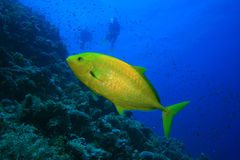 Orangespotted Trevally and Scuba Divers Royalty Free Stock Photos