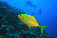 Orangespotted Trevally and Scuba Divers Stock Image