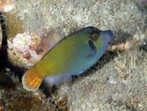 Orangetail filefish Zdjęcia Royalty Free